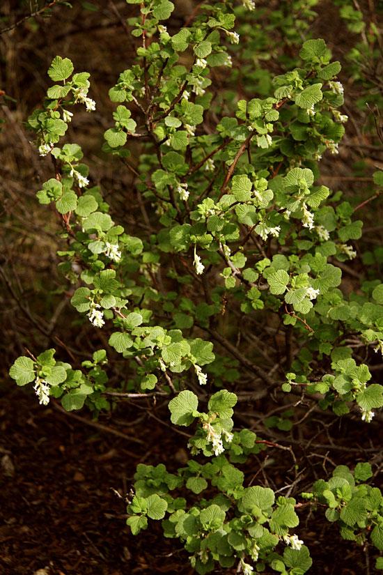 White flowering currant ribes indecorum nature at hand plant of white flowering currant mightylinksfo