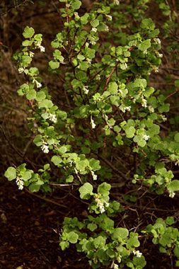 White flowering currant ribes indecorum nature at hand plant of white flowers november march eudicot or click on any photo mightylinksfo